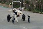 HandicappedPets.com Chario11