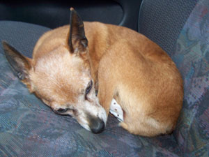 NINA pinscher nain 12 ans souffre d'eventration ADOPTEE - Page 3 Retour10