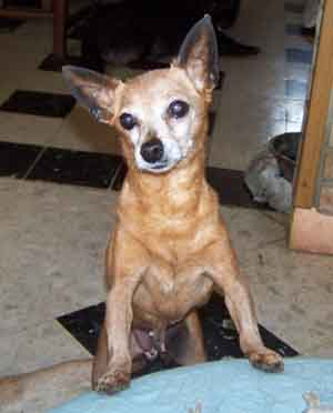 NINA pinscher nain 12 ans souffre d'eventration ADOPTEE - Page 5 Table-12