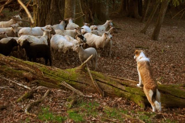 C'est ( enfin!)  le vote final du concours photo troupeau 2008 Mouton11