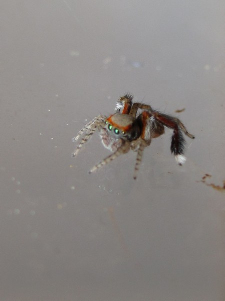 Araignée cévennes 20073_10