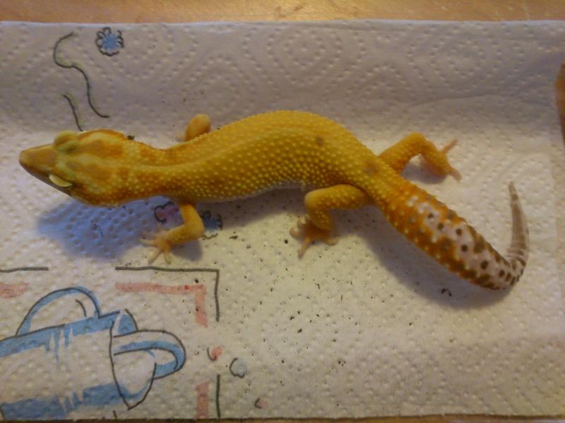 craquage à la bourse, gecko  Dsc_0412