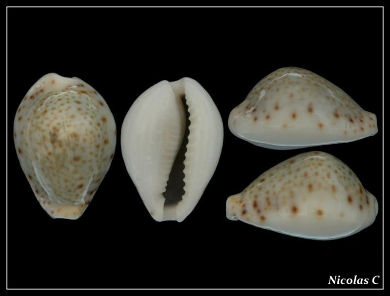 Naria turdus - (Lamarck, 1810) Forum_14