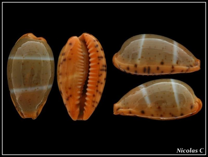 Palmadusta lutea - (Gmelin, 1791) Forum_16