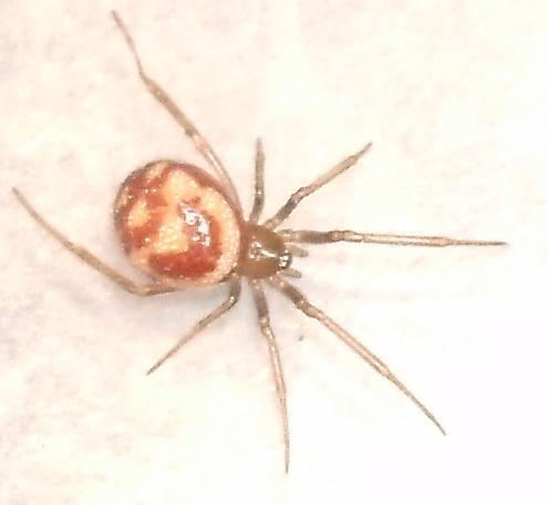 araignée inconnue Tentac11