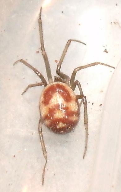araignée inconnue Tentac12