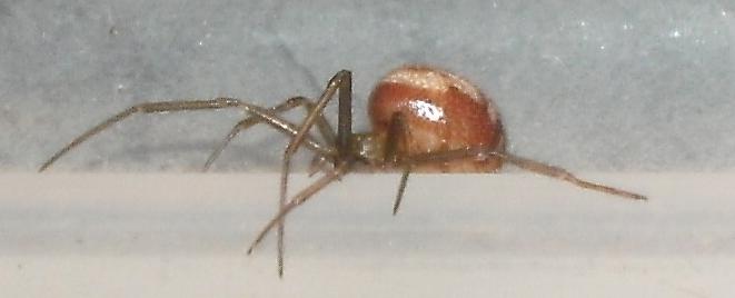 araignée inconnue Tentac13