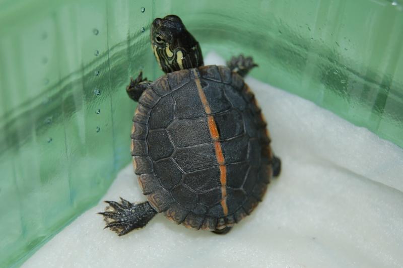 La tortue peinte du sud (Chrysemys dorsalis) 1210