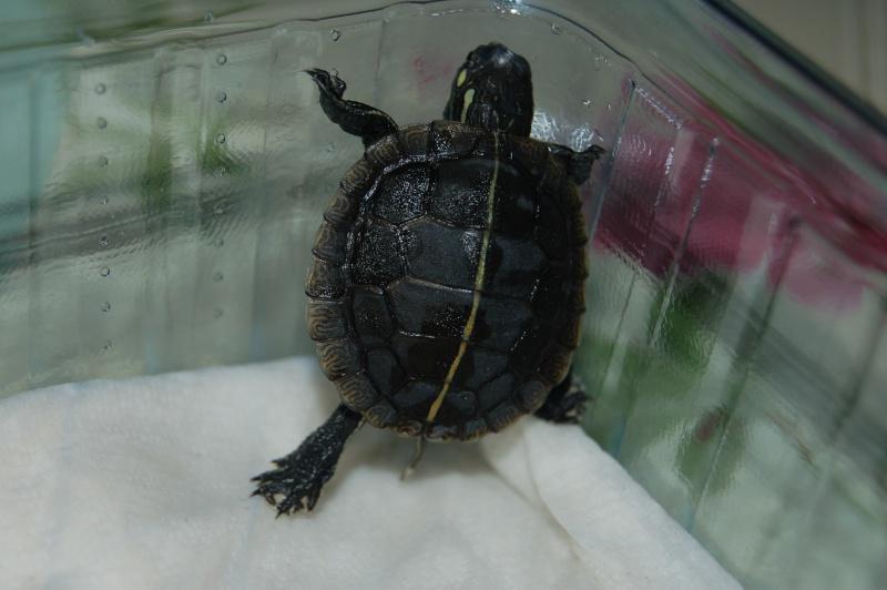 La tortue peinte du sud (Chrysemys dorsalis) 4010