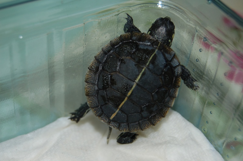 La tortue peinte du sud (Chrysemys dorsalis) 4310