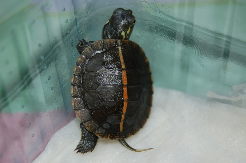 La tortue peinte du sud (Chrysemys dorsalis) 610