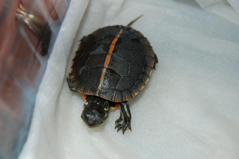 La tortue peinte du sud (Chrysemys dorsalis) 810