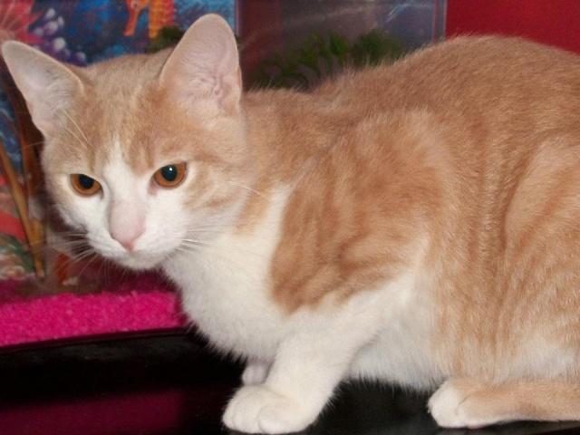 Caramel, roux et blanc, né en décembre 2010, identifié HWX959 Carame13