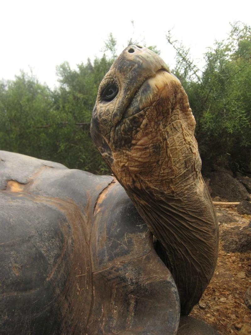 Une éruption volcanique menace les tortues géantes des Galapagos Galapa10
