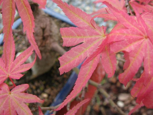 feuilles erable seigen Img_0818