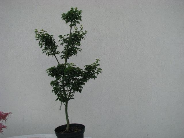plant acer shishigashira pour formation en bonsai Img_0914