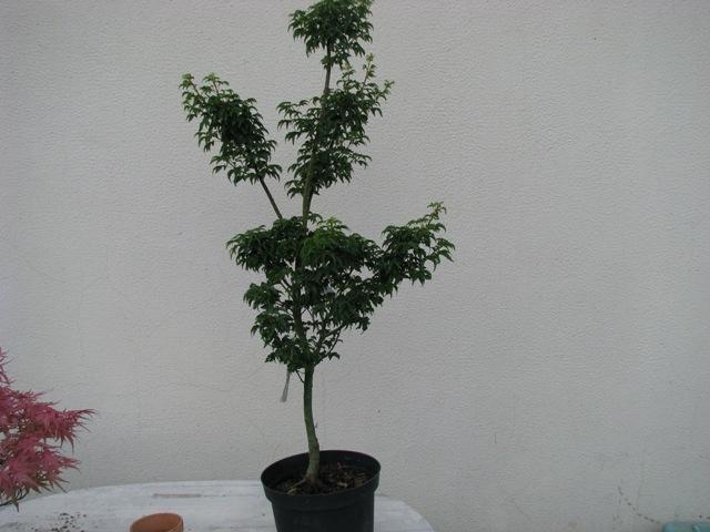 plant acer shishigashira pour formation en bonsai Img_0915
