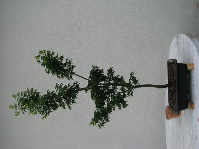 plant acer shishigashira pour formation en bonsai Img_0923