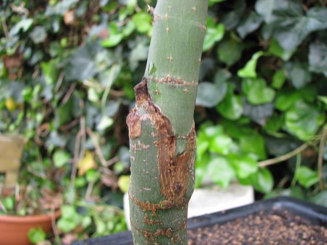 plant acer shishigashira pour formation en bonsai Img_0924