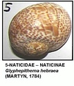 Gasteropodes actuels du NE Espagne (côte de Tarragona) 05g10