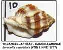 Gasteropodes actuels du NE Espagne (côte de Tarragona) 10g10