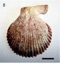 Bivalves actuels du NE Espagne (côte de Tarragona) Diapos17
