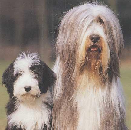quel race de chien me correspondrait? Bearde10