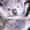 Staff du Forum (la bande de cinglé) Koala10