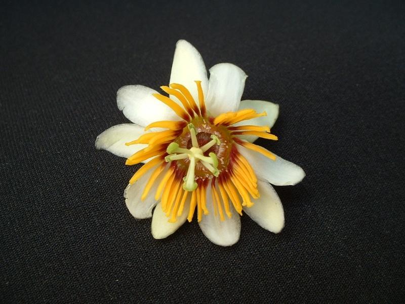 P. holosericea Holose10