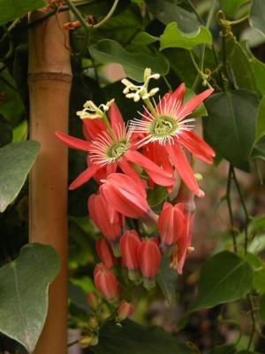 P. racemosa var. 'Buzios' Racemo10
