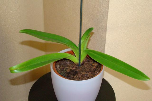 Mon étagère a Orchidées Dsc01617