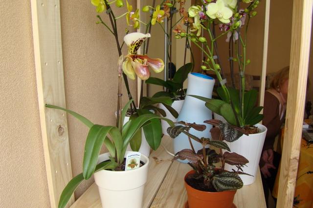 Mon étagère a Orchidées Dsc01620