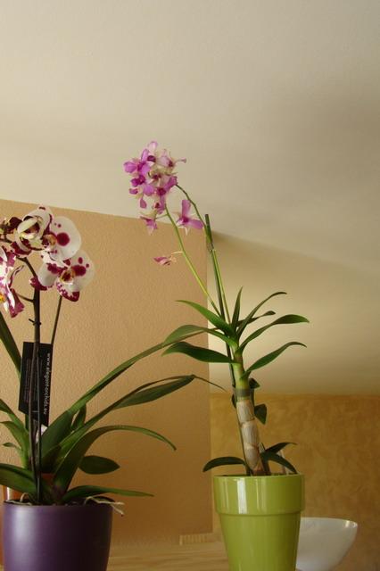 Mon étagère a Orchidées Dsc01623