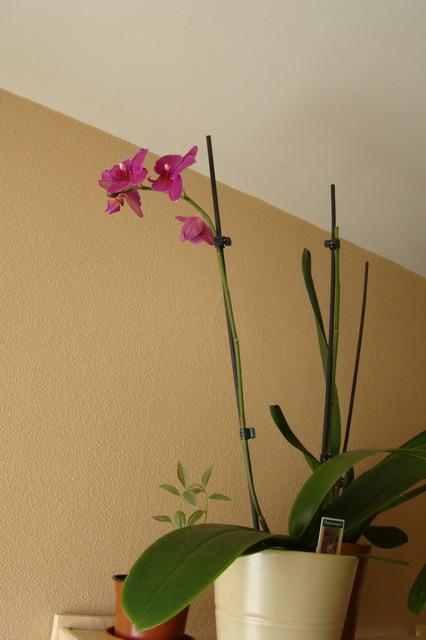 Mon étagère a Orchidées Dsc01624