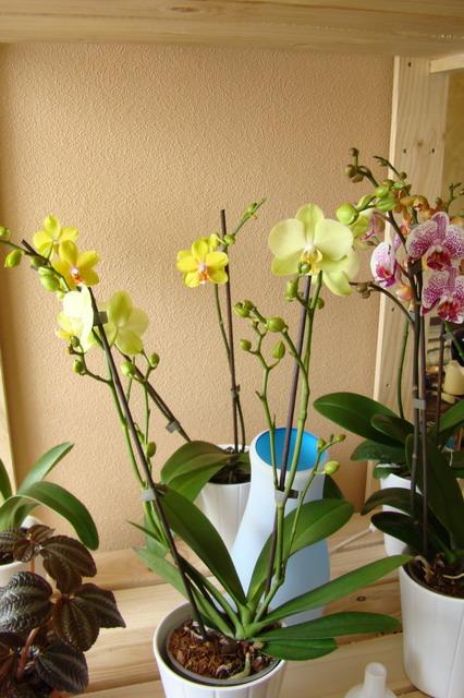 Mon étagère a Orchidées Dsc01625