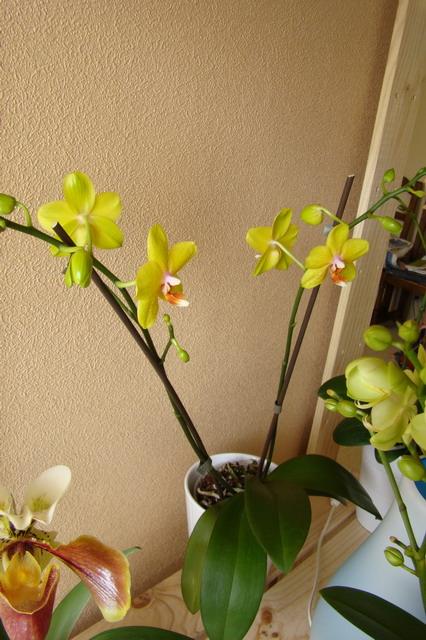 Mon étagère a Orchidées Dsc01626