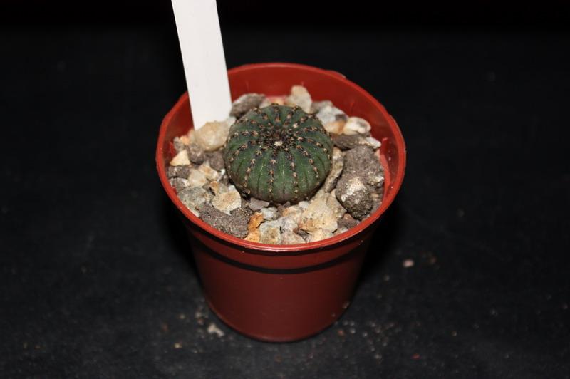 Mon Gardenia Fraile10