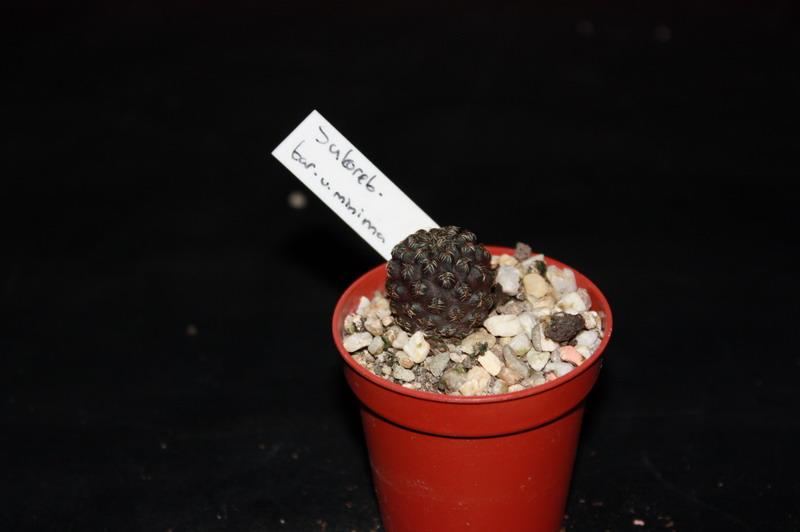 Mon Gardenia Sulcor12