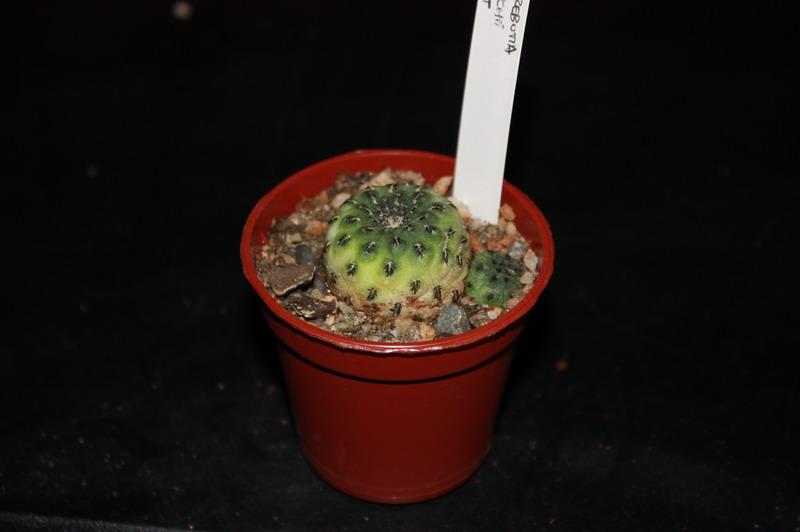 Mon Gardenia Sulcor13