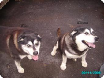 KEO et KEOMA - husky/labrador - 12 ans - ORMES (51) Keo_et10