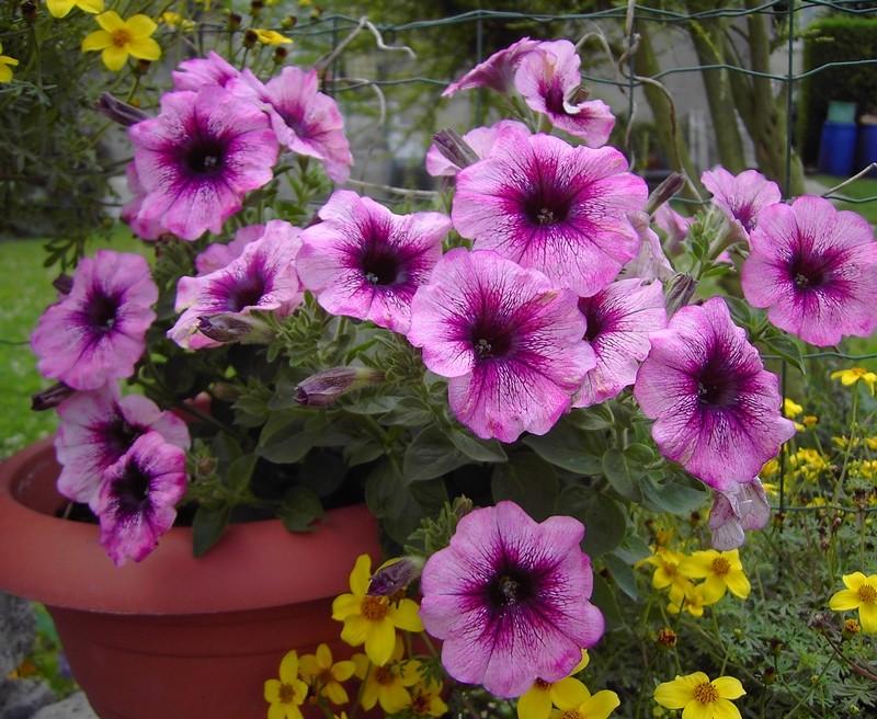 Les Impatiens et autres fleurs Jardin10