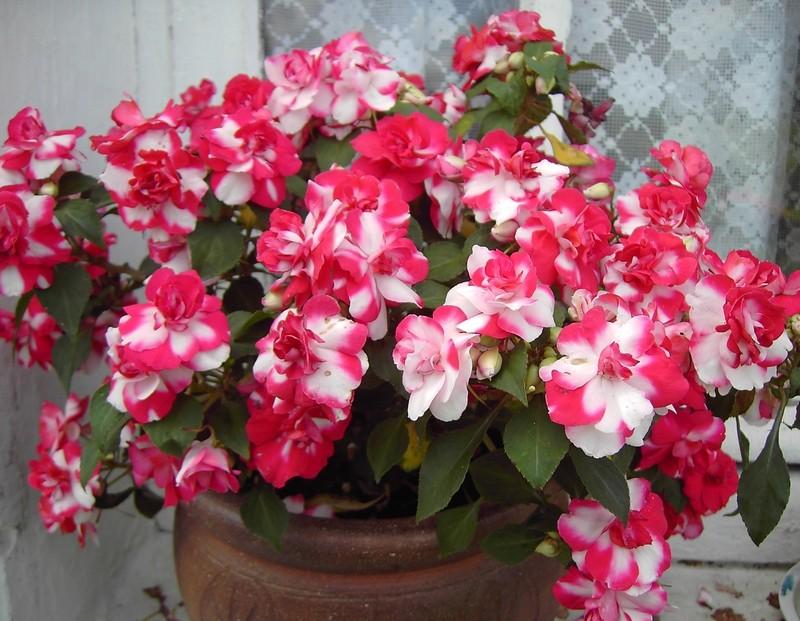 Les Impatiens et autres fleurs Jardin11