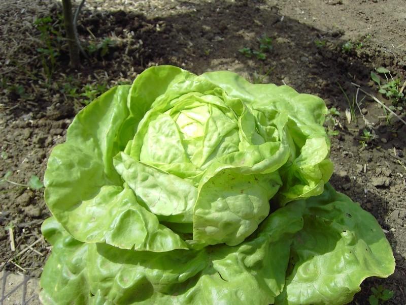 Photos du potager Salade10