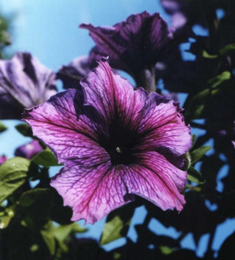 Les Impatiens et autres fleurs Surfin10
