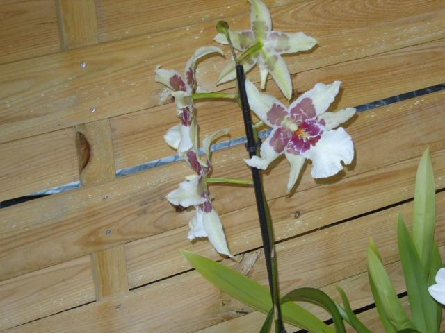 Ma première orchidée! - Page 2 Orchid22