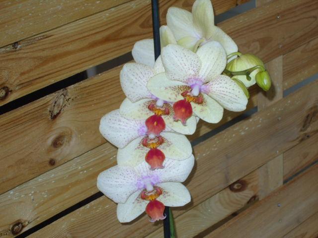 Ma première orchidée! - Page 2 Orchid23