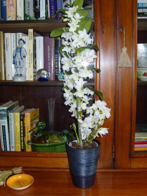 Ma première orchidée! - Page 2 Orchid24