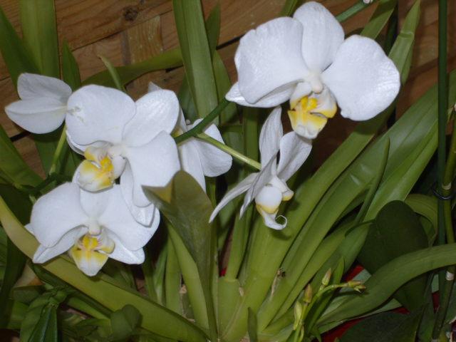 Ma première orchidée! - Page 2 Orchid26