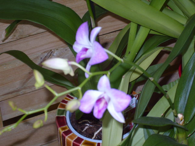 Ma première orchidée! - Page 2 Orchid27