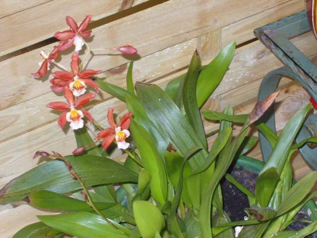 Ma première orchidée! - Page 2 Orchid28